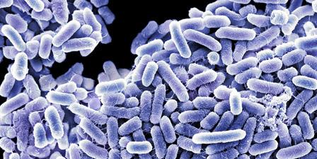 Salmonella bacteria sem