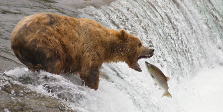 An adult brown bear opens its mouth wide to catch a socke...