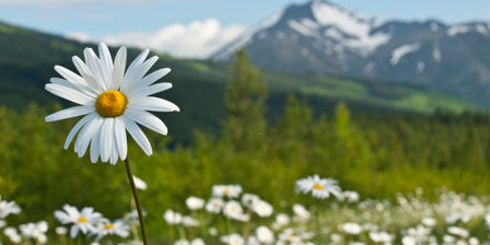 A group of daisies in the meadows of Turnagain Pass in Ch...