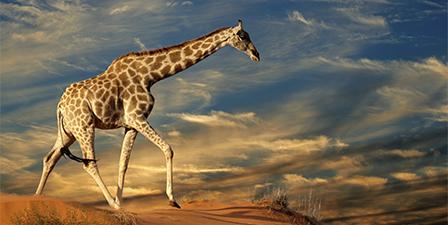 Giraffe looking down into the camera, Australia