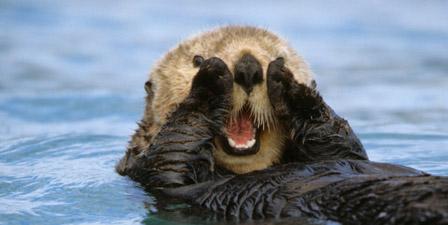 Close up of Sea Otter Resurrection Bay KP AK Summer near ...