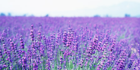Lavender Wall Art lavender wall art & canvas prints | lavender panoramic photos