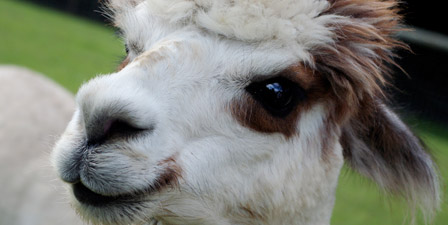 A close up portrait of an alpaca