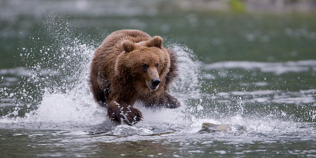 Brown bear chases salmon in a shallow stream Prince Willi...