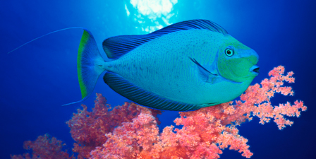 Vlamings unicornfish and Squarespot anthias (Pseudanthias...