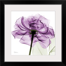 Purple Rose X-Ray Photograph