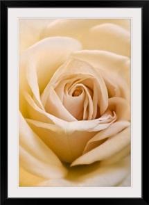 Close-up of a Rose (Rosa berberifolia)
