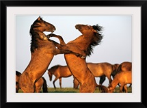 Two stallions fight at a wild horse conservation center