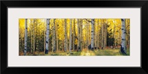 Aspen trees in a forest, Coconino National Forest, Arizona