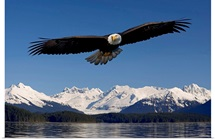 Bald Eagle in flight Inside Passage Tongass National Forest SE Alaska Spring