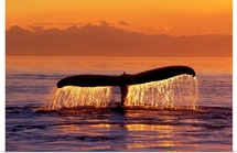 Humpback Whale Fluke @ Sunset Inside Passage SE AK Summer