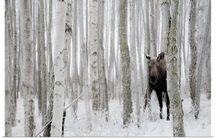 Moose hides in ice fog and birch trees, Kincaid Park, Anchorage, Southcentral Alaska