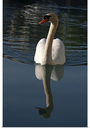 Mute Swan, Cygnus olor, swimming on Lake Thun, Switzerland