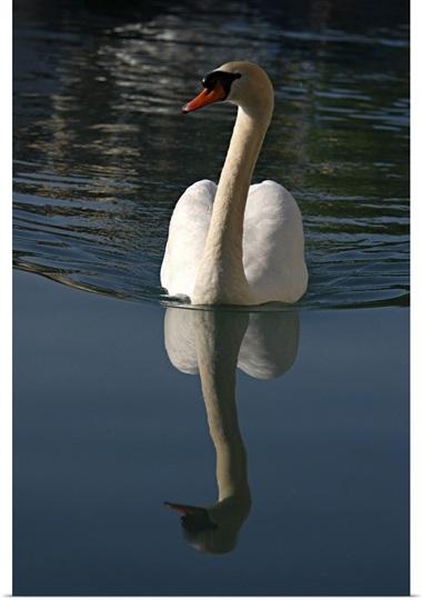 Mute Swan, Cygnus olor, swimming on Lake Thun, Switzerland