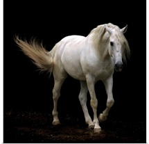 White Lusitano horse walking, swishing his tail.