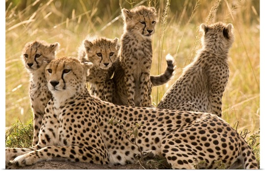 A cheetah family: mother and cubs, Masai Mara, Kenya
