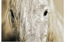 Close up of a Camargue horse, Arles, France