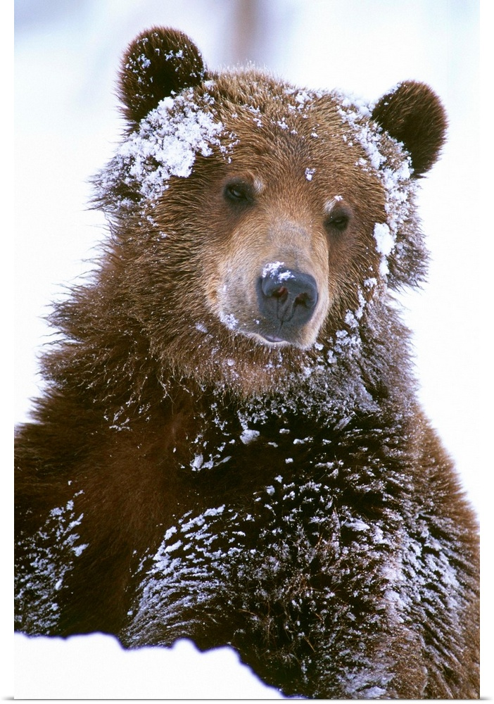Poster Print Wall Art entitled Grizzly bear standing with ...