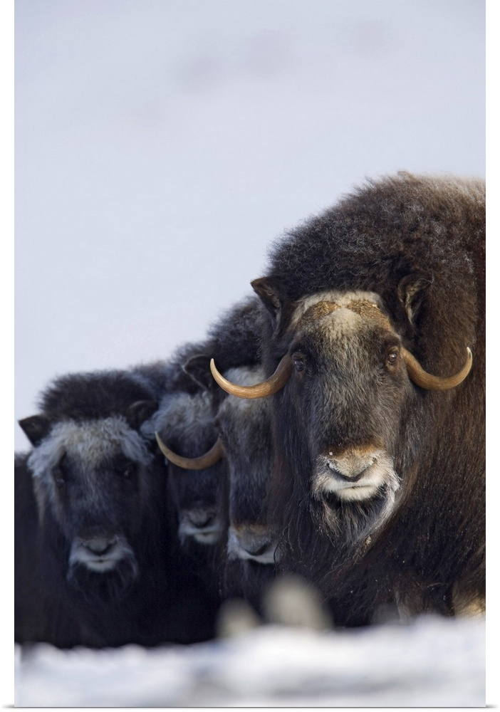 Cow Wall Art poster print wall art entitled musk ox cows calves in a defensive