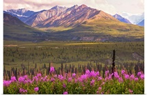 View of the Chugach Mountains with fireweed in the foreground along the Glenn Highway