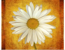 Daisy in Gold