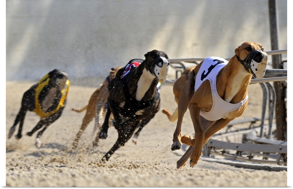 greyhound racing essay Adopting the racing greyhound by cynthia a branigan paperback $1221 in  stock  yvonne zipter is the author of acclaimed poetry and essay collections.