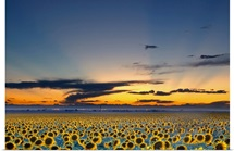 Sunflower field illuminated by beautiful rays during sunset.