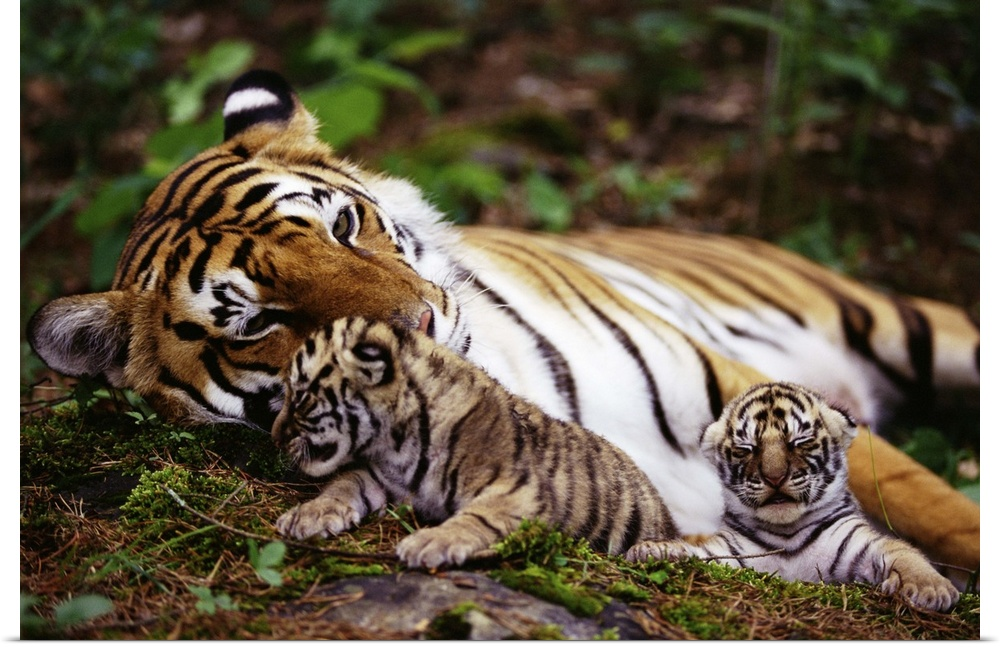 tiger mother essay Responses to tiger mom article in paul, annie murphy s article the roar of the tiger mom , we read about how a mother amy chua raised her kids in a strict.