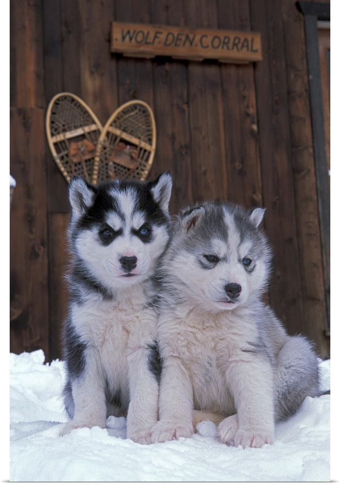 Poster print wall art entitled two siberian husky puppies sitting in the snow ebay - Pictures of siberian huskies ...