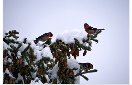 Two White-winged Crossbills, Loxia leucoptera, feeding on spruce cones in winter