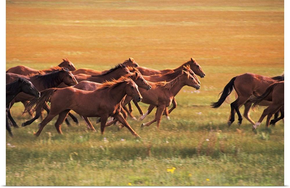 Poster Print Wall Art entitled Wild horses running near ...