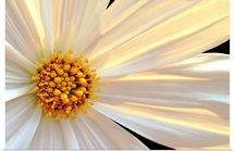 Daisy Detail in Sunlight