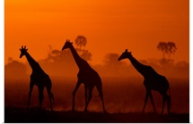 Giraffes at twilight, Africa