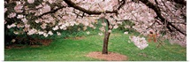 Cherry Blossom tree in a park, Golden Gate Park, San Francisco, California
