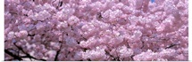 Washington DC, Close-up of cherry blossoms