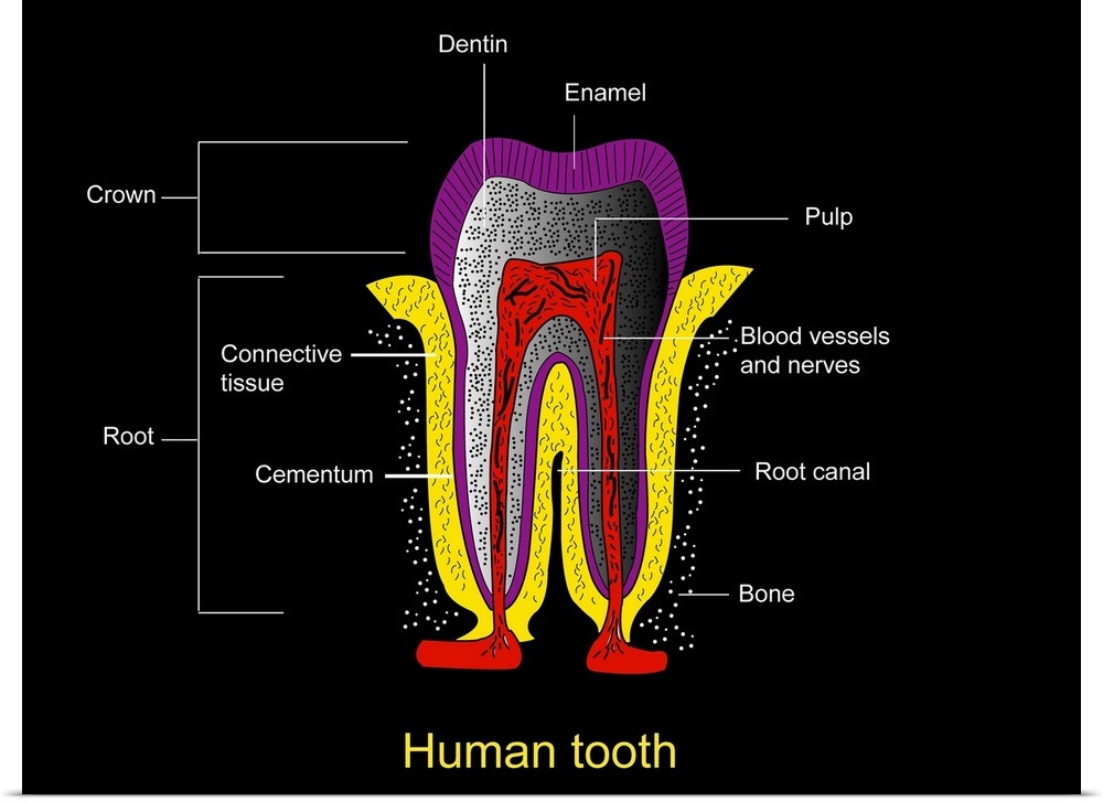 Poster Print Wall Art Entitled Human Tooth Anatomy Diagram Ebay