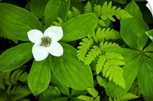 Close up of dwarf dogwood flower and ferns, Turnagain Pass area of the Kenai Peninsula