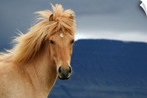 An icelandic Horse waiting for the rain to come watching the dark skies.