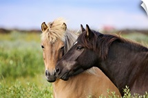 Two horses nuzzling
