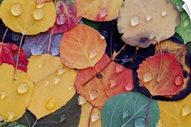 Varitable Bounty of Fall Leaves After Rain