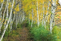 A sedge lined trail through a birch forest