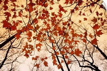 A skyward view of the bare branches and autumn leaves, Russell-Brasstown scenic highway, Chattahoochee National Forest, Georgia