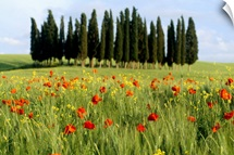 A stand of cypress trees in a field of poppies and wheat