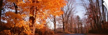 Maple tree in autumn, Litchfield Hills, Connecticut