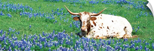Texas Longhorn cow sitting on a field, Hill County, Texas