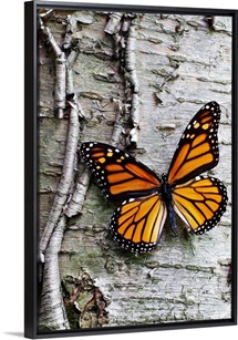 Monarch on Birch