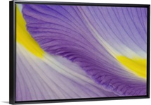 Purple and Yellow Iris Petal Detail