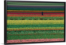 Living rainbow A man helps tend six million tulips at Keukenhof in the Netherlands