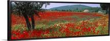 Red poppies in a field, Turkey