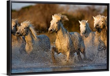 Camargue horses running in the water at sunset, Arles, France